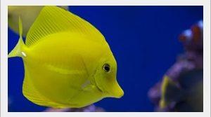 Yellow Tang Balığı