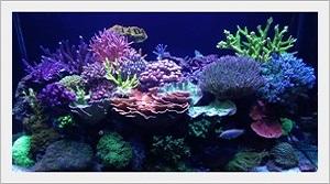 LPS Mercan Çeşitleri