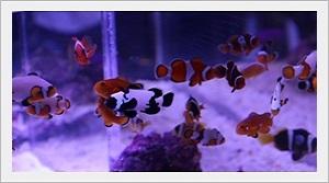 Palyaço Clownfish Balıkları