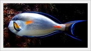Sohal Tang Balığı Özellikleri