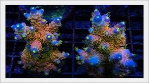Sert Sps Mercanlarda Renklenme Nedir