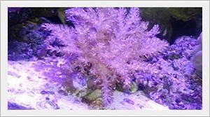 Tree Coral Deniz Akvaryumu Mercanı